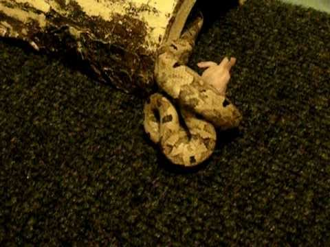 Indonesian Boa Eating Pinky