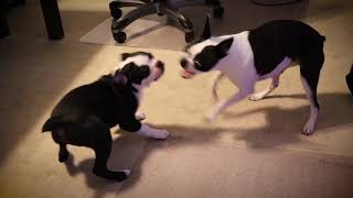 Boston Terriers Being Bostons