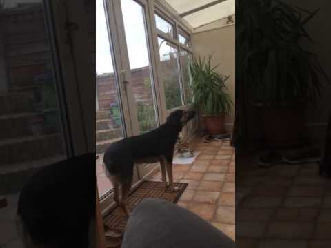 Dog Demonstrates Beautiful Singing Voice
