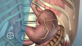 How does the Stomach Function?