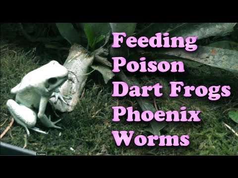 Feeding POISON Dart Frogs Phoenix Worms - Watch in HD