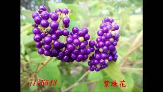 mqdefault - 2018.06.28嘉義市香湖公園紫珠花.mp4