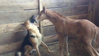 animale manzul si cainele