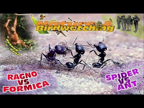 Spider vs Ant - Ragno contro Formica