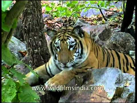 Rare Panna Tiger Seen Before The Poachers KILLED It!