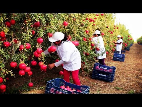 Awesome Agriculture Technology: Pomegranate Cultivation - Pomegranate Farm and Harvest