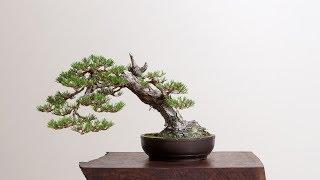 Japanese Black Pine Timelapse