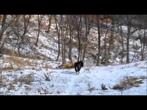 Амур и Тимур в Приморском Сафари-парке - Приморский Сафари Парк
