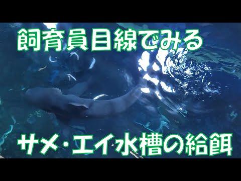 飼育員目線の給餌   サメ・エイがいる水槽
