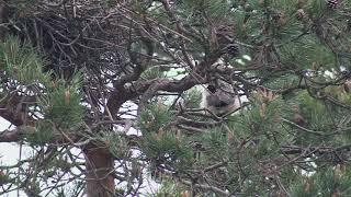 Hibou moyen duc   les jeunes quittent le nid!