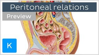 Peritoneal Relations (preview) - Human Anatomy | Kenhub