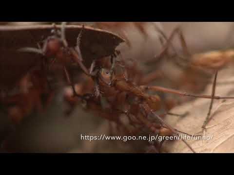 グンタイアリの行進 Army ant