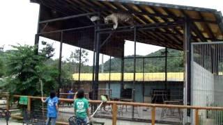 ホワイトタイガー脱走?しろとり動物園