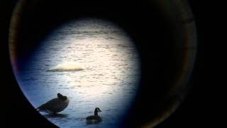 preview picture of video 'Cygne trompette (Trumpeter Swan) @ Saint-Jean-sur-Richelieu 30oct2013'