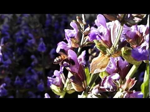 Abeille qui butine des fleurs de sauge