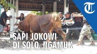 VIDEO Sapi Kurban Milik Presiden Jokowi Ngamuk saat akan Disembelih di Solo