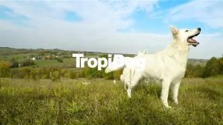 TropiDog rasy psów: Biały Owczarek Szwajcarski