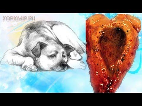 Холецистит у собак | Симптомы | Лечение | Профилактика.