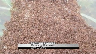 Record Flooding and Floating Fire Ants