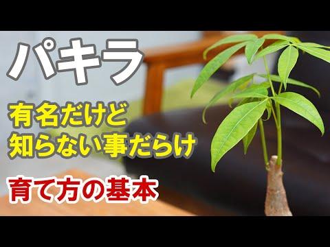 , title : 'パキラの苗の育て方 根っこチェックでわかる根腐れさせない水やりと植え替え