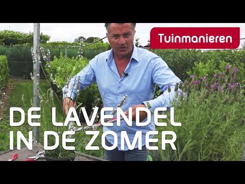 Hoe snoei je de lavendel in de zomer?