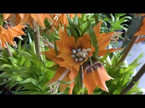 База цветов ФЛОРЭВИЛЬ. Обзор горшечных растений 29.04.2018г. Огромный выбор цветов и орхидей.