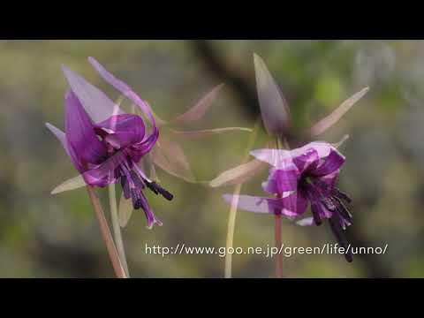 カタクリの花の日周運動 Time lapse