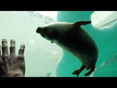 【海遊館】オープン前のワモンアザラシ「ミゾレ」~水中編~