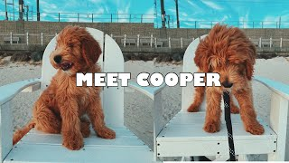 MEET COOPER!!! Our New Goldendoodle Puppy!
