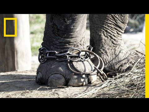 Download Unchaining Captive Elephants In Nepal | National Geographic HD Mp4 3GP Video and MP3