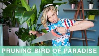 How To Prune Bird Of Paradise Plant | Bird of Paradise Care