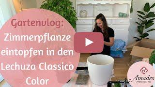 Zimmerpflanze eintopfen in den Lechuza Classico Color   Gartenvlog Amadeo Ambiente