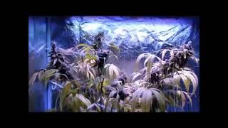 How to harvest and dry marijuana!