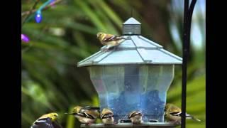 Finch Feast