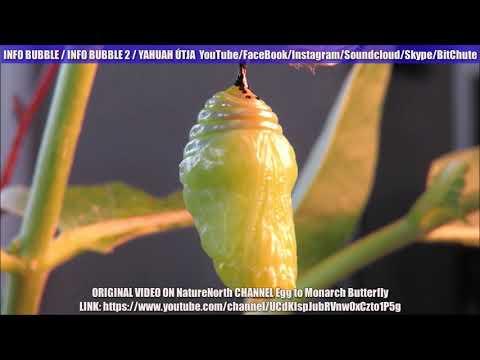Parazita fátyol