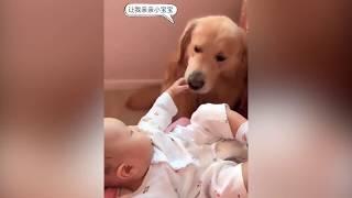 主人让金毛照顾小宝宝,金毛母爱大爆发,太有爱了