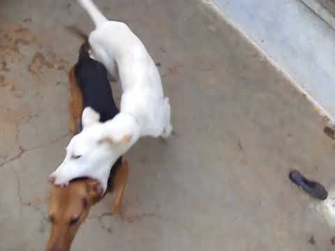 RAJAPALAYAM DOG SPEED AND POWERFUL DOGS