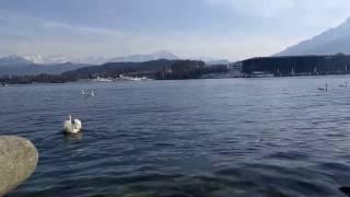 スイス発 透明度の高い、ルツェルン湖で泳ぐ白鳥 【スイス情報.com】