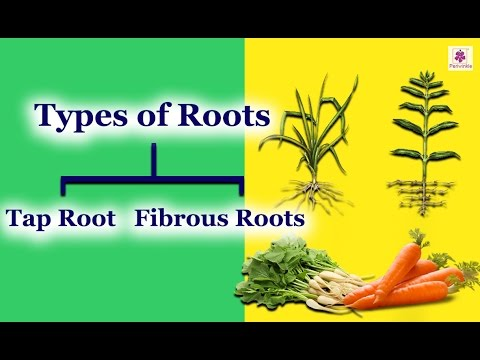 The Root System | Different Kind Roots | Tap Root & Fibrous Roots | Periwinkle