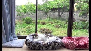 【癒しのちょっぴり雨降りな日ののら】A cat and a dog on a rainy day