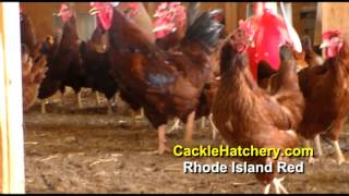 Rhode Island Red Chicken Breed (Breeder Flock) | Cackle Hatchery