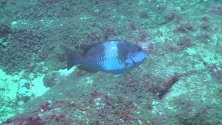 preview picture of video 'Pupukea Dive August 7th 2010'