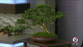 How to properly care for your Bonsai tree | HOUSTON LIFE | KPRC 2