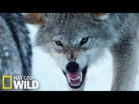 Une meute de loups attaque un troupeau de bisons d'Europe !
