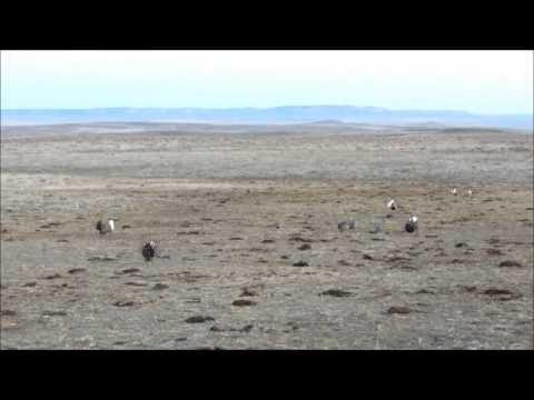 Sage Grouse Strut