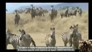 африка неудачная охота хищников