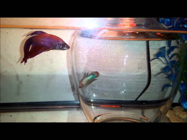 Introducing Male & Female Betta Fish To Eachother Part 1