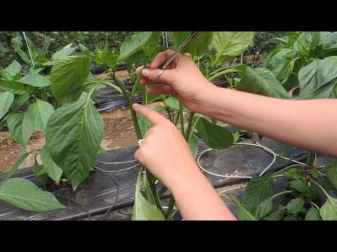 , title : 'HOW TO PRUNE GREENHOUSE BELL PEPPERS FOR BEST PRODUCTION!