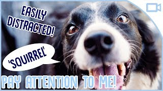 How to Train Your Dog to Pay Attention!