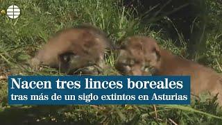 Nacen tres linces boreales en Cangas de Narcea